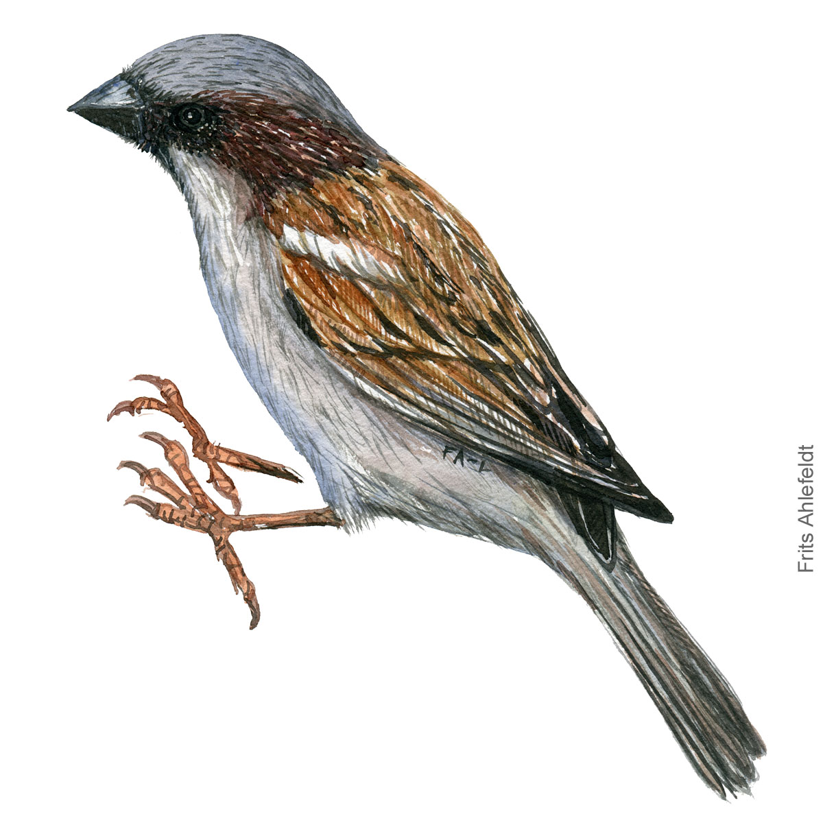 Graaspurv - House sparrow - Bird painting in watercolor by Frits Ahlefeldt - Fugle akvarel
