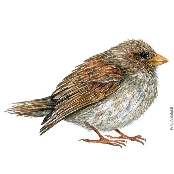 Graaspurv - housesparrow - Bird painting in watercolor by Frits Ahlefeldt - Fugle akvarel