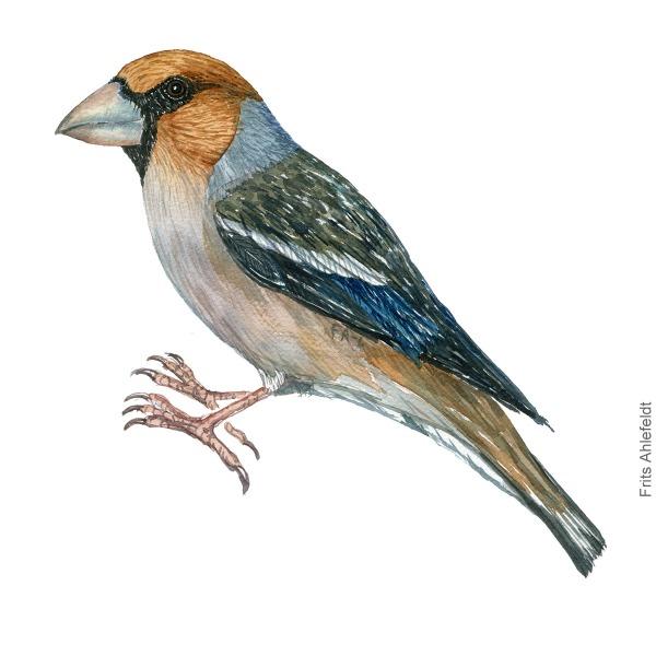 Kernebider - Hawfinch - Bird painting in watercolor by Frits Ahlefeldt - Fugle akvarel
