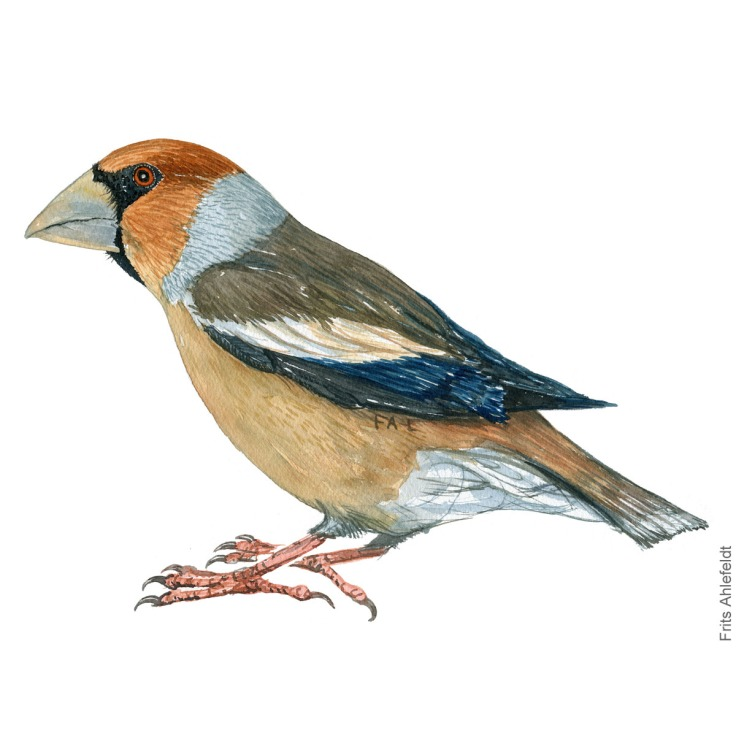 Kernebider - Hawfinch - Bird painting in watercolor by Frits Ahlefeldt - Fugle akvarel
