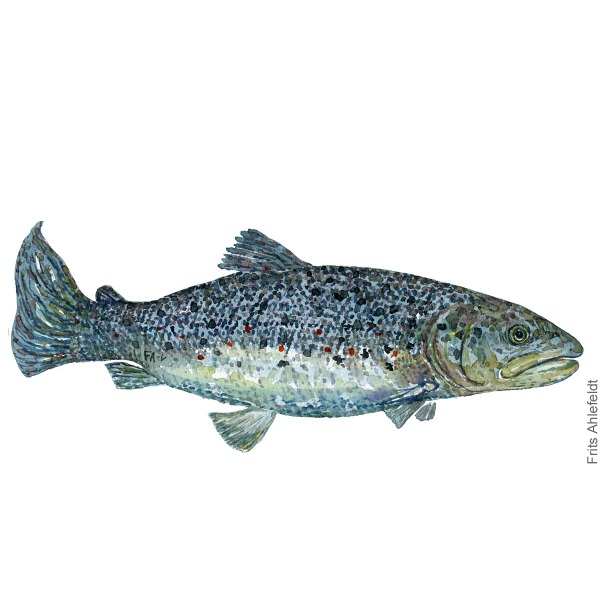 Havoerred - sea trout Fish painting in watercolor by Frits Ahlefeldt - Fiske akvarel
