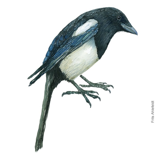 Husskade - European magpie - Bird painting in watercolor by Frits Ahlefeldt - Fugle akvarel