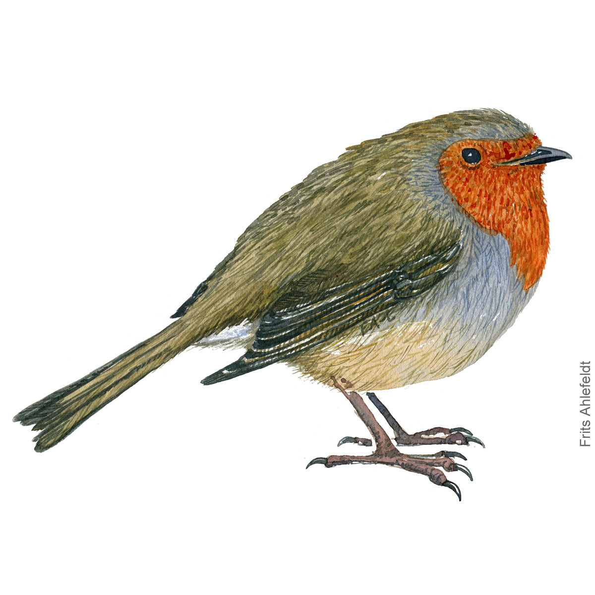 Roedhals - European robin - Bird painting in watercolor by Frits Ahlefeldt - Fugle akvarel