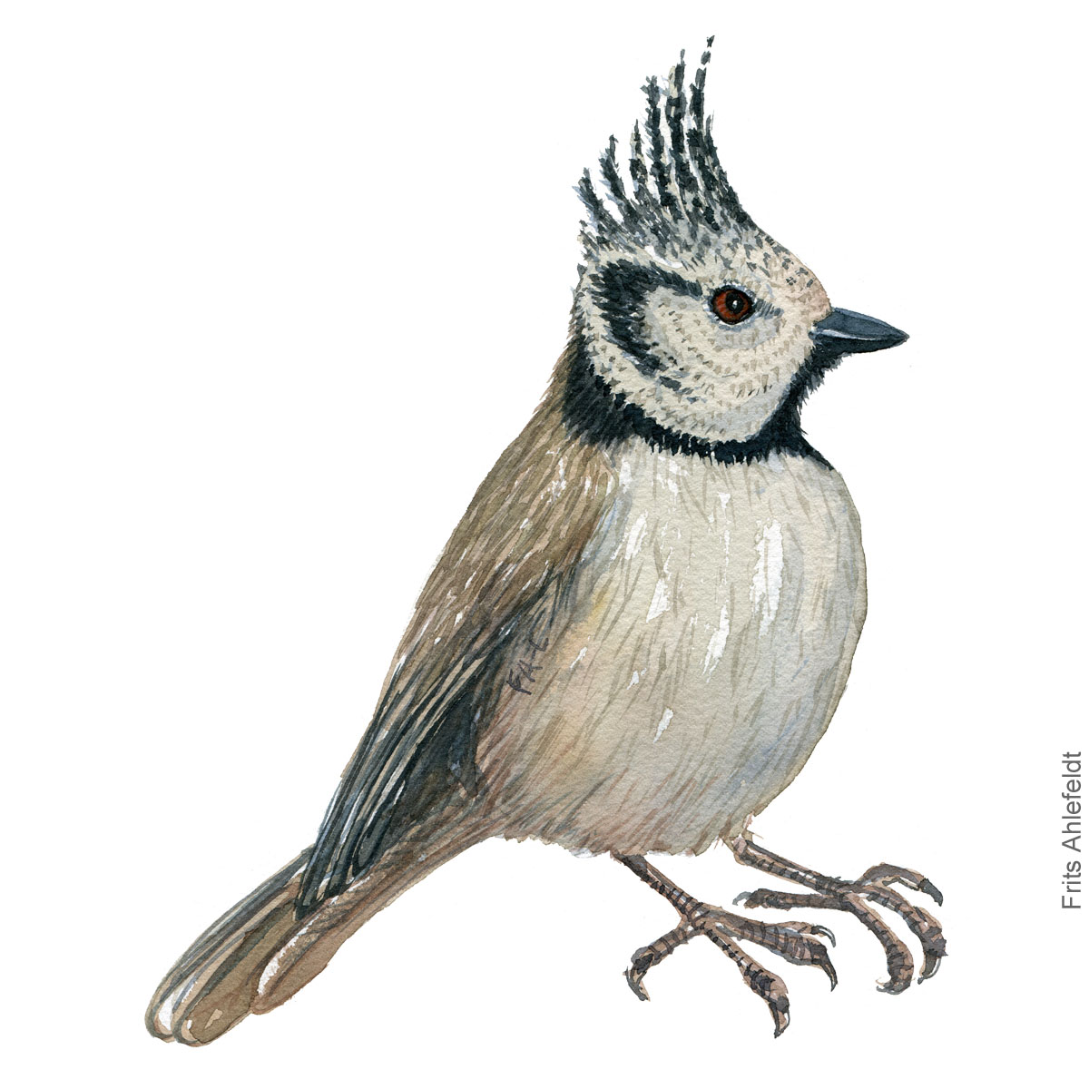 topmejse - European crested tit - Bird painting in watercolor by Frits Ahlefeldt - Fugle akvarel