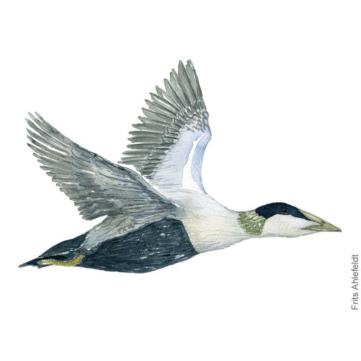Edderfugl - Common eider - Bird painting in watercolor by Frits Ahlefeldt - Fugle akvarel