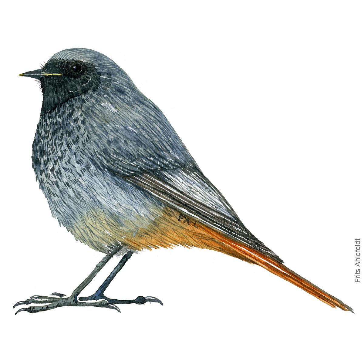 Husroedstjert - Black redstart - Bird painting in watercolor by Frits Ahlefeldt - Fugle akvarel