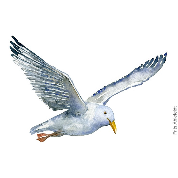 Maage - seagull Watercolor by Frits Ahlefeldt, Akvarel