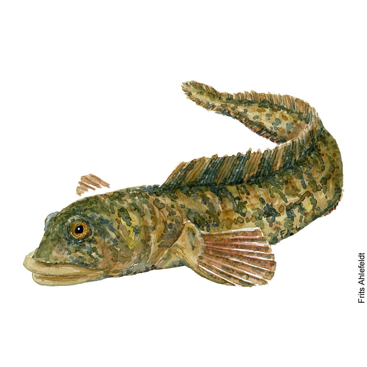 Aalekvabbe - Eelpout - Fish watercolor painting by Frits Ahlefeldt, Akvarel af Frits Ahlefeldt