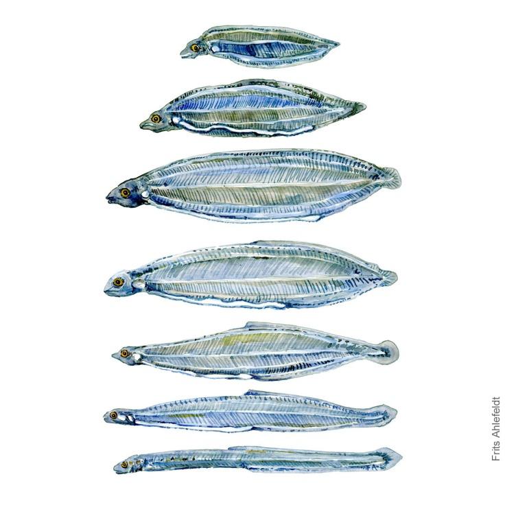 aal larve, Eel larvae - Fish watercolor painting by Frits Ahlefeldt, Akvarel af Frits Ahlefeldt
