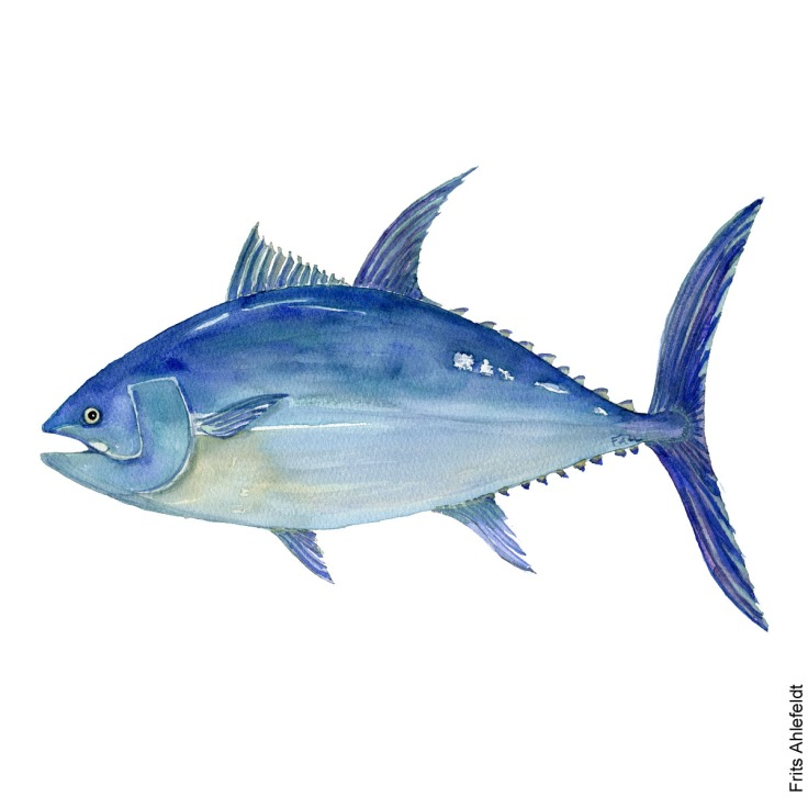 Tunfisk - Bluefin tuna - Fish watercolor painting by Frits Ahlefeldt, Akvarel af Frits Ahlefeldt
