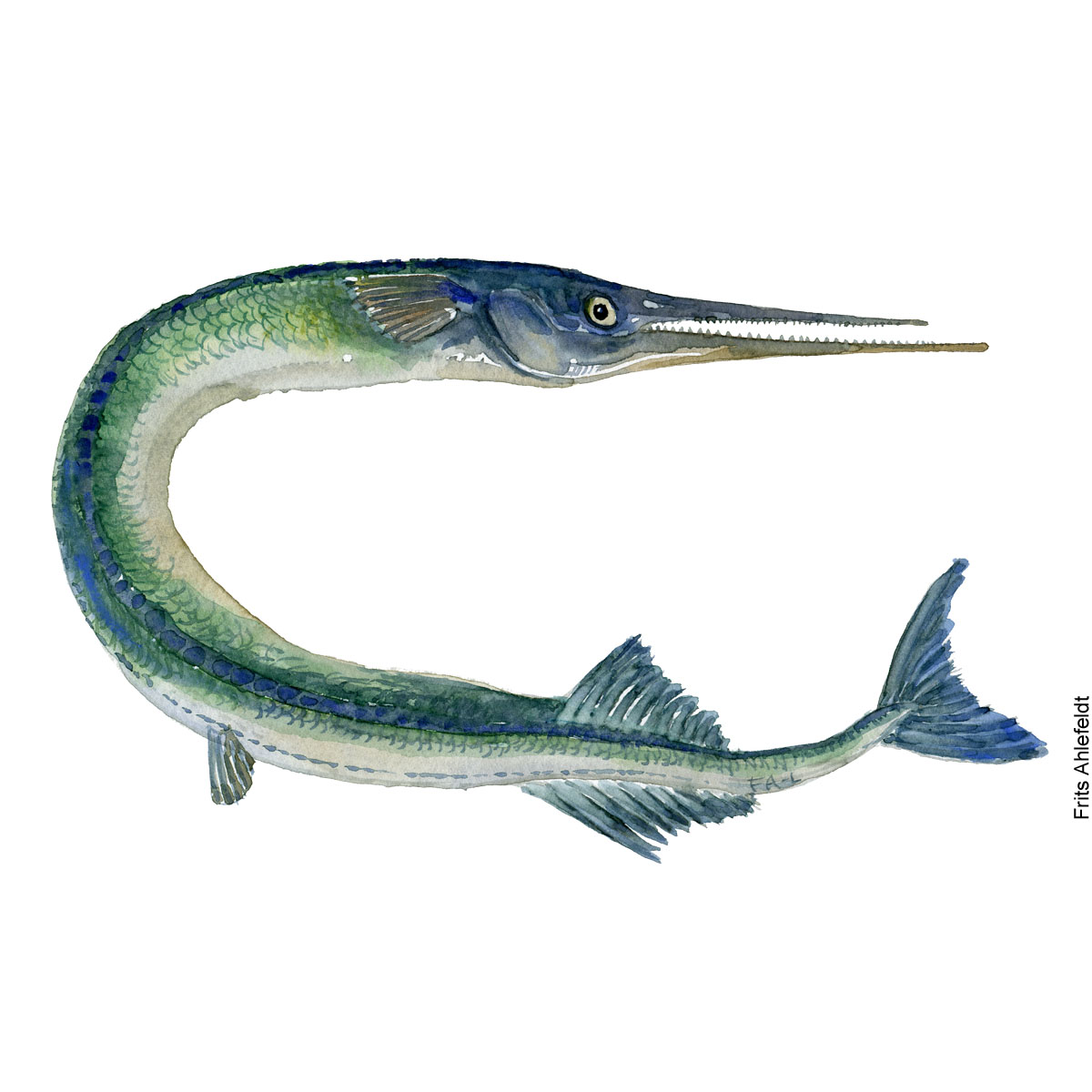 Hornfisk - Garfish - Fish watercolor painting by Frits Ahlefeldt