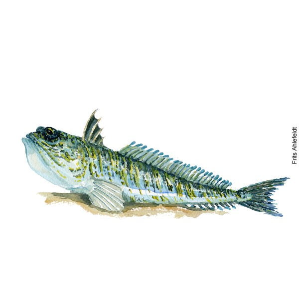 Fjaesing - Weever - Fish watercolor painting by Frits Ahlefeldt