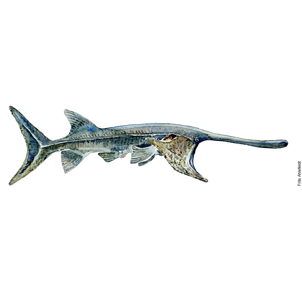 Chinese paddlefish - Fish watercolor painting by Frits Ahlefeldt