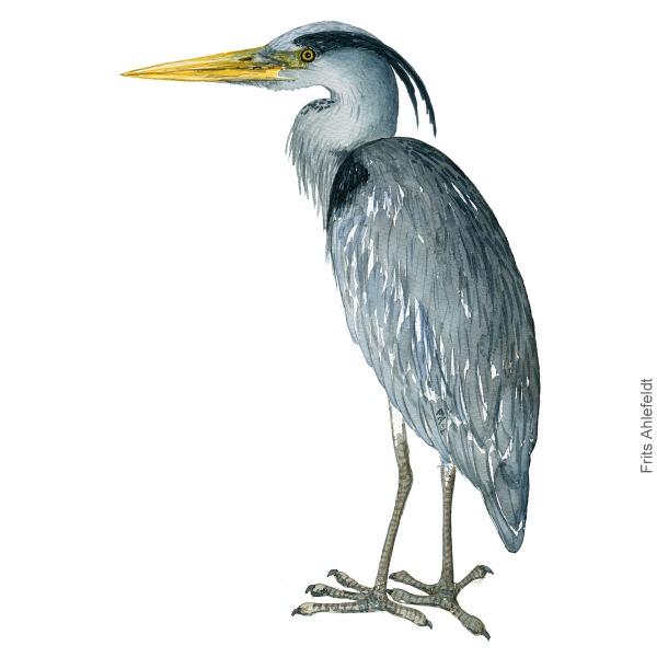 Fiskehejre - Grey heron - Bird watercolor by Frits Ahlefeldt. Fugle akvarel