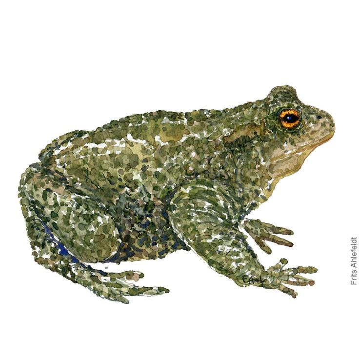 Skrubtudse - Common toad - Amphibian watercolor by Frits Ahlefeldt - Padde akvarel