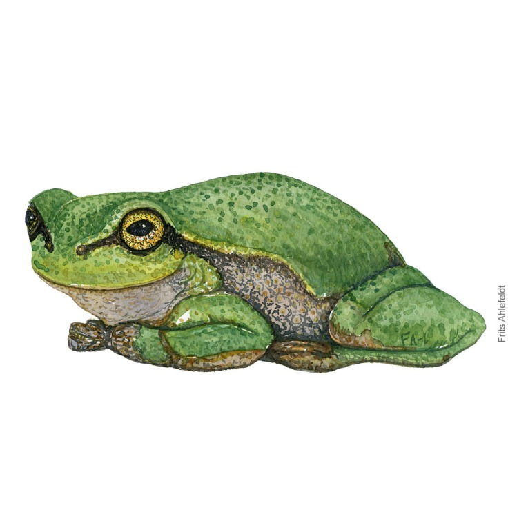 Loevfroe - Hyla aborea - European treefrog watercolor illustration by Frits Ahlefeldt. Akvarel af padde