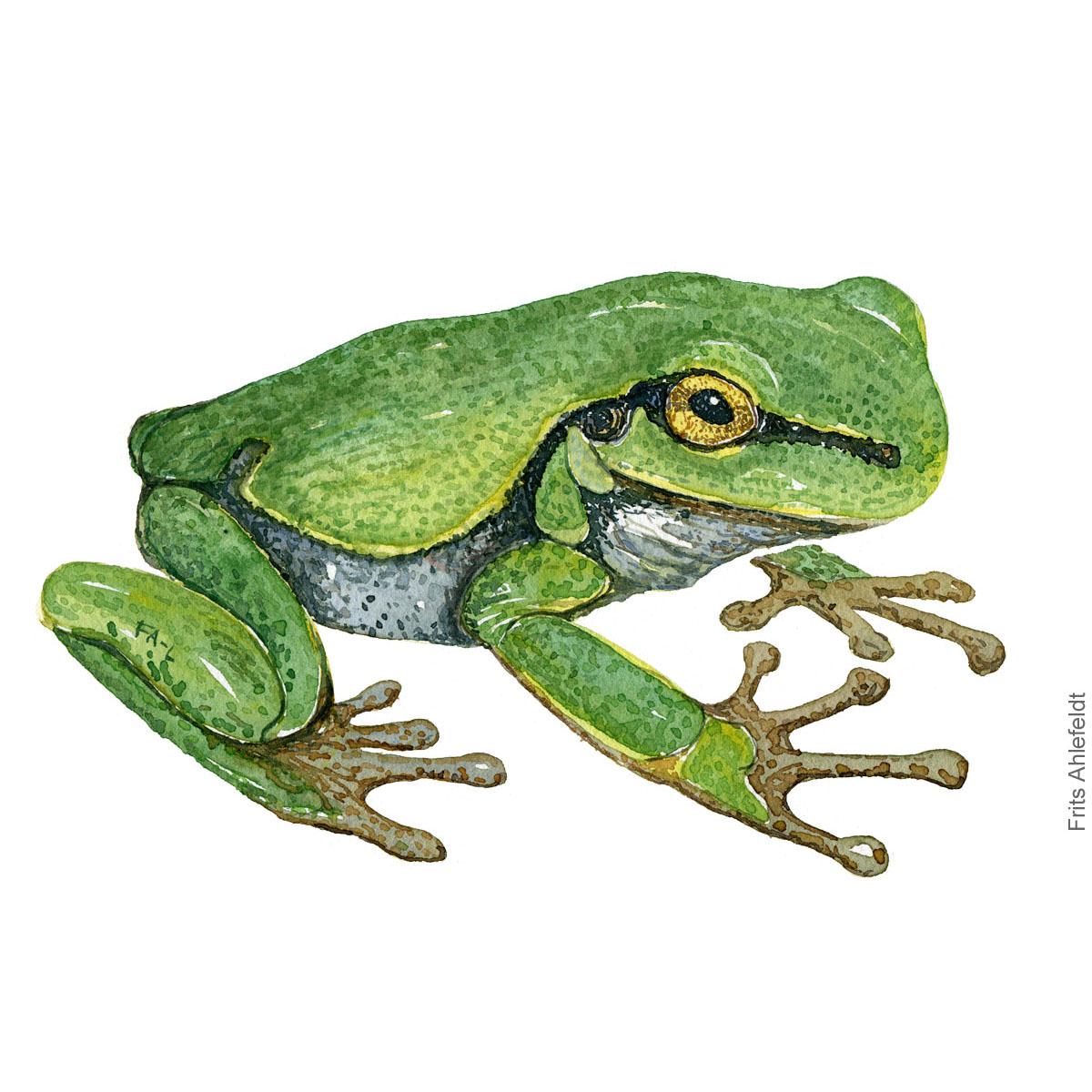Loevfroe - Hyla aborea - European treefrog watercolor illustration by Frits Ahlefeldt. Akvarel af padde