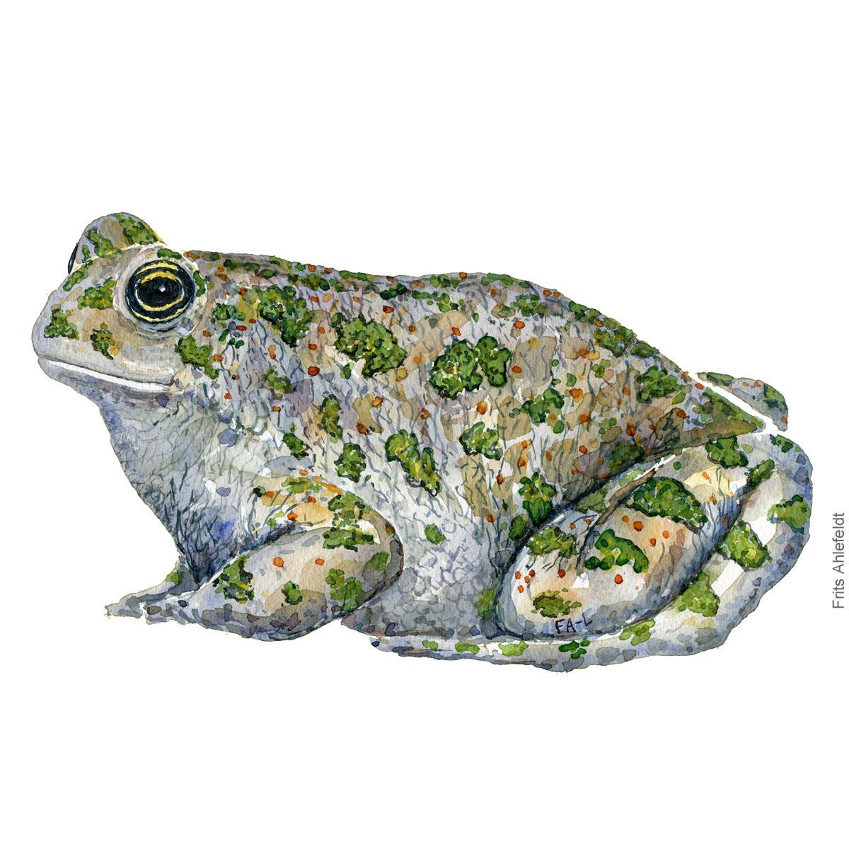 Groenbroget tudse - Bufo viridis - Green toad watercolor illustration by Frits Ahlefeldt - Akvarel af padde