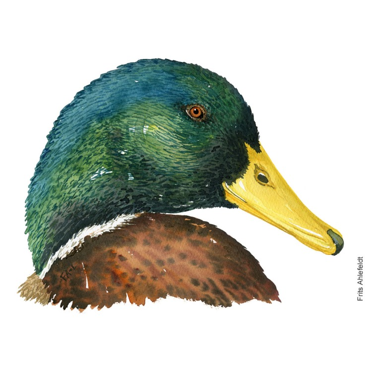 Watercolor of Mallard duck. ( Gråand ) Painting by Frits Ahlefeldt