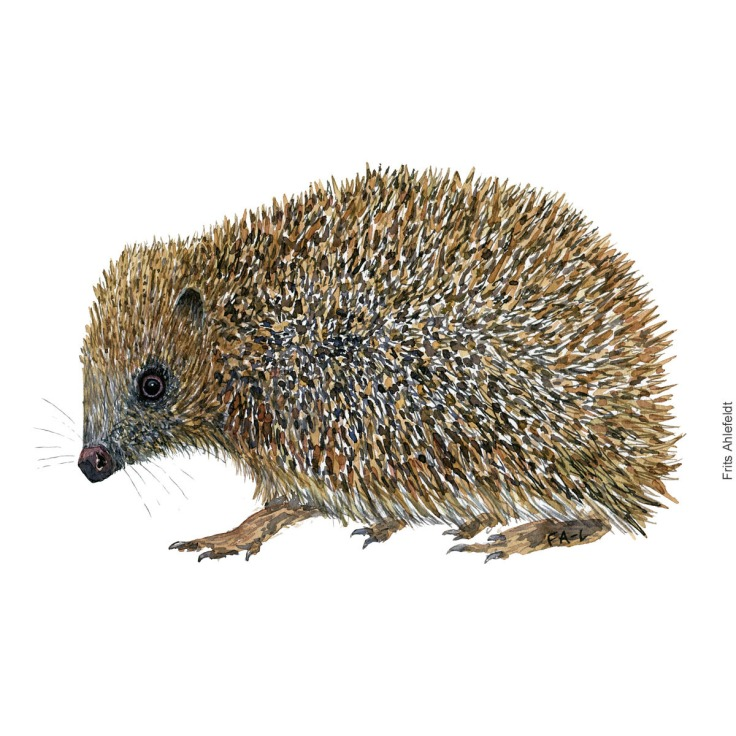 Watercolor of hedgehog - Erinaceus-europaeus, pindsvin. Painting by Frits Ahlefeldt