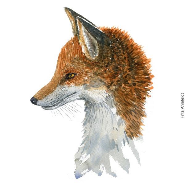 Watercolor of Red fox ( Vulpes-vulpes, Raev) Mammal painting by Frits Ahlefeldt