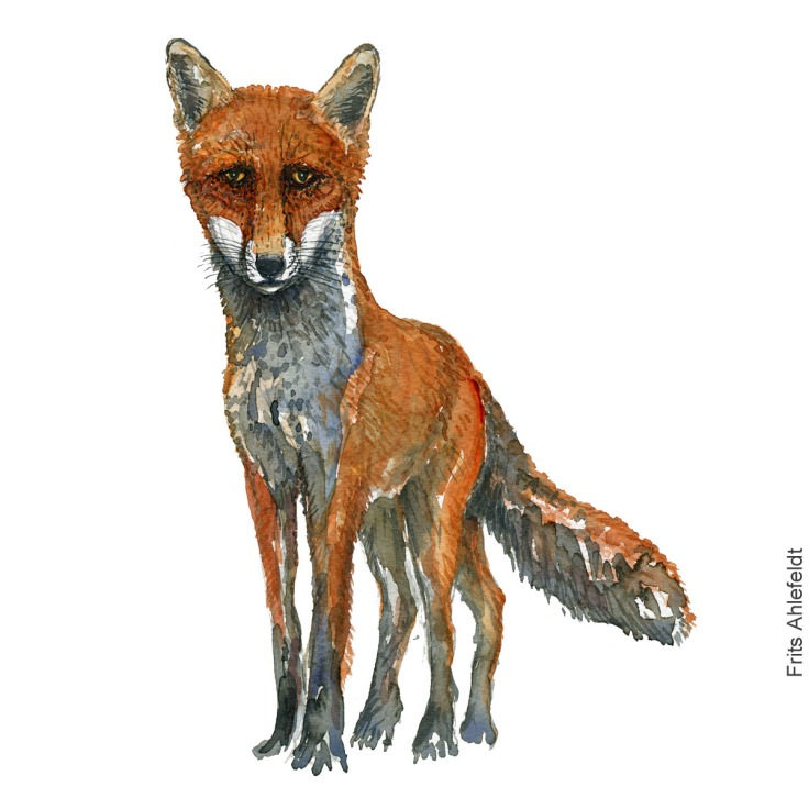 Watercolor of Red fox ( Raev) Mammal painting by Frits Ahlefeldt
