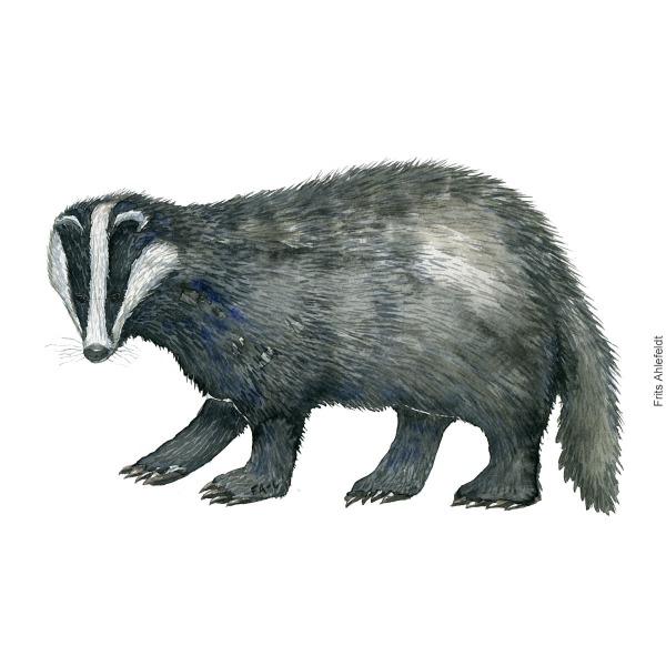 Watercolor of European Badger ( Meles-meles - Graevling ) Painting by Frits Ahlefeldt