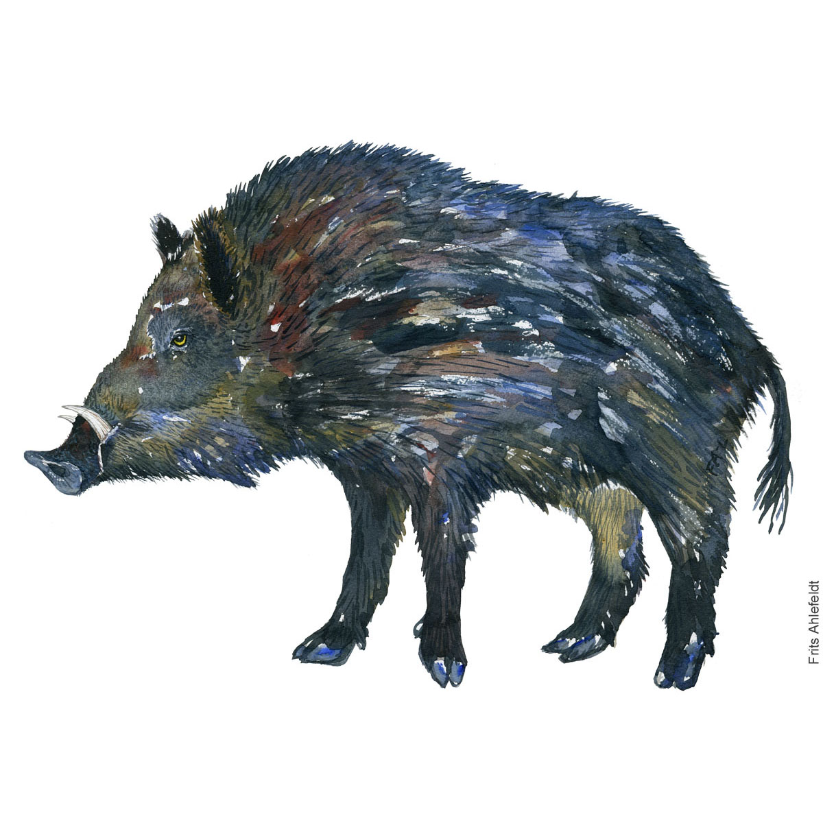 Watercolor of wild boar ( Sus-Scrofa, Vildsvin) Painting by Frits Ahlefeldt