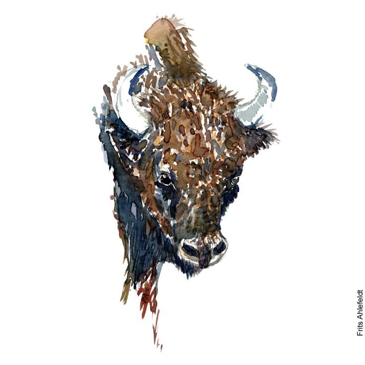 Watercolor of European Bison ( Bison-bonasus, Europaeisk bison ) Painting by Frits Ahlefeldt