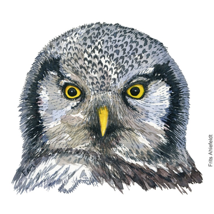 Watercolor of Northern hawk owl ( Surnia-ulula, hoegeugle) Painting by Frits Ahlefeldt