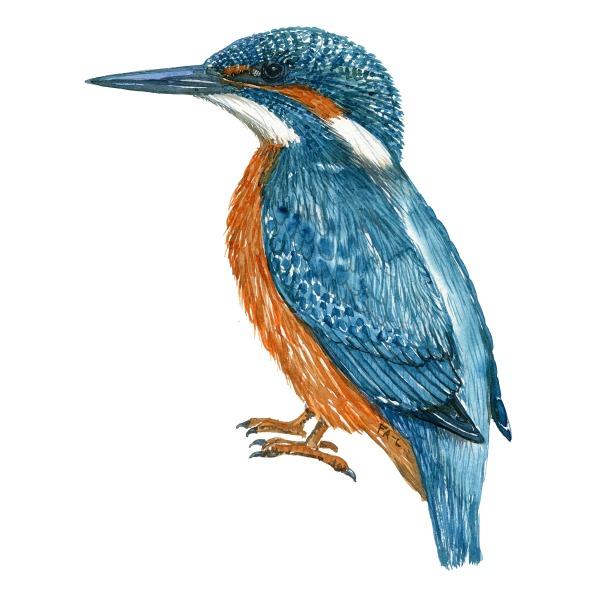 Isfugl - Common kingfisher - Bird painting in watercolor by Frits Ahlefeldt - Fugle akvarel