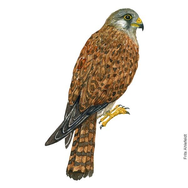 Common kestrel bird watercolor painting. Artwork by Frits Ahlefeldt. Tårnfalk Fugle akvarel